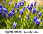 Blue flowers Muscari or murine hyacinth buds and leaves. Viper bow - stock photo