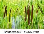Small photo of Acorus - cattail bush
