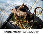 Glue Mousetrap  Rats On Rat...
