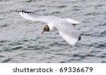 Flying Black Headed Gull  Laru...