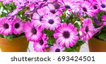 african daisy  osteospermum....   Shutterstock . vector #693424501