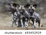 african wild dog siblings | Shutterstock . vector #693452929