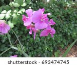 a wild flower that resembles... | Shutterstock . vector #693474745