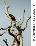 Small photo of Bateleur sitting atop dead tree branch, South Africa