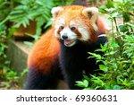 Curious Looking Red Panda Bear