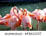 Flamingos  Phoenicopteridae  I...