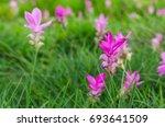 siam tulip flower or curcuma... | Shutterstock . vector #693641509