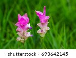 siam tulip flower or curcuma... | Shutterstock . vector #693642145