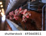 Factory Chicken Egg Production...