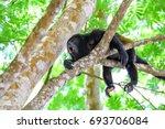 howler monkey | Shutterstock . vector #693706084