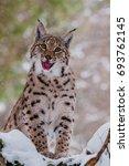 carpathian lynx  lynx lynx    Shutterstock . vector #693762145