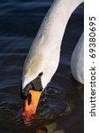 "Close to a svan ""Cygini"" - stock photo"