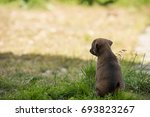 puppy sits and stares somewhere ... | Shutterstock . vector #693823267