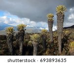 Small photo of Beautiful Colombian Paramo with frailejones (Espeletia), South America