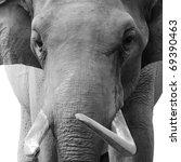 animal elephant head black and white - stock photo