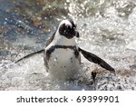 African Penguin  South Africa