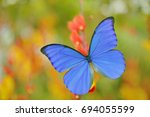 Blue Butterfly Morpho Didius ...
