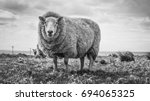 Close up black and white image of a sheep in a field in Ireland with other sheep in the background and also the ocean.