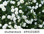 Small photo of Achillea ptarmica Ballerina many white flowers with green leaves