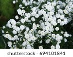 Small photo of Achillea ptarmica or neezewort or sneezeweed ballerina many white flowers with green leaves