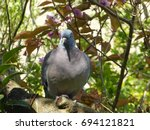 Fat Pigeon In A Tree With...