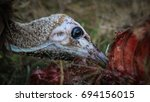 juvenile hooded vulture eating... | Shutterstock . vector #694156015