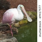 Small photo of Roseate Spoonbill (Platalea ajaja or Ajaia ajaja) standing on one leg by a pond.