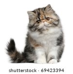 Persian Cat  8 Months Old ...
