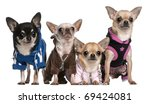 Stock photo mexican hairless dog and chihuahuas in front of white background 69424081