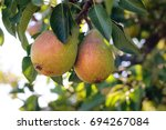 Fresh Juicy Pears On Pear Tree...