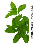 fresh green mint isolated on a... | Shutterstock . vector #69433066