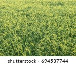 Nice Rice Field At Evening