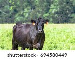 black angus beef cow with...   Shutterstock . vector #694580449