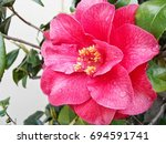 camellia   Shutterstock . vector #694591741