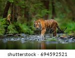 Amur tiger walking in river...