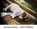 Stock photo puppy dog jack russell terrier fell asleep with his head in the plate 694728661