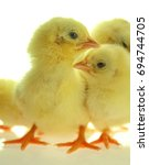 Yellow Chicks In White...
