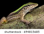 Small photo of Giant ameiva, Ameiva ameiva