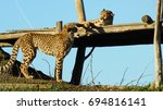 Leopards At Rest