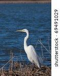 Great Egret ...