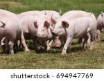 group photo of young piglets... | Shutterstock . vector #694947769
