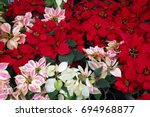 Poinsettia Flowers Blooming On...