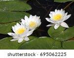 White Water Lilies In Dark...