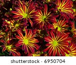 Single petal chrysanthemum blossoms in a background pattern. - stock photo