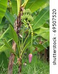 Banana Blossom On Tree In...