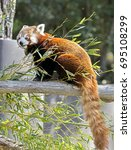 Small photo of Lesser panda also called red panda. Latin name - Ailurus fulgens