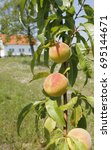 peach fruits on branch with... | Shutterstock . vector #695144671