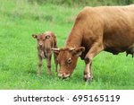 Brown Cow With Her Calf On A...