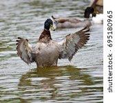 mallard duck flapping its wings ... | Shutterstock . vector #695180965