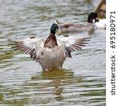 mallard duck flapping its wings ... | Shutterstock . vector #695180971